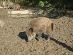 wildschweinindersauschtte.jpg